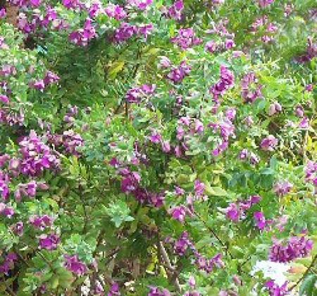 Piante ornamentali agrigarden for Alberi perenni