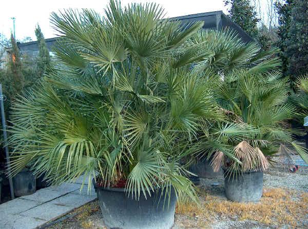 Piante ornamentali agrigarden for Vendita palme da giardino prezzi